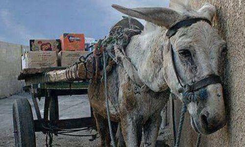 Pétition : STOP ânes et mules maltraités île de Santorin #Grèce transport passagers ou bagages !