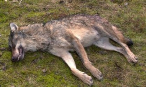 Pétition : Stop au massacre de loups