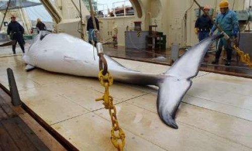 Pour interdire la chasse à la baleine au Japon