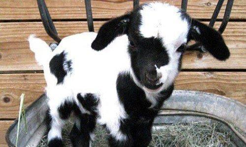 Une petite chèvre pour nous rendre heureux
