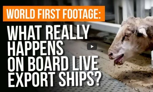 Exportations de moutons vivants d'Australie vers le Moyen-Orient.