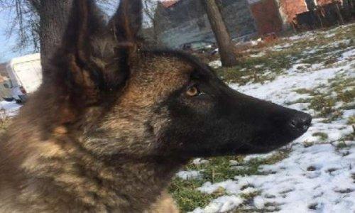 Justice pour Sasha, le chien sauvagement tué dans le comté de Timis, Roumanie