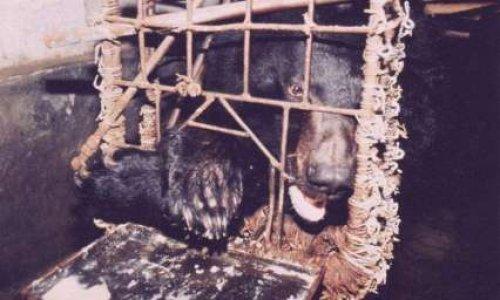 Pour la sauvegarde des ours au Cambodge