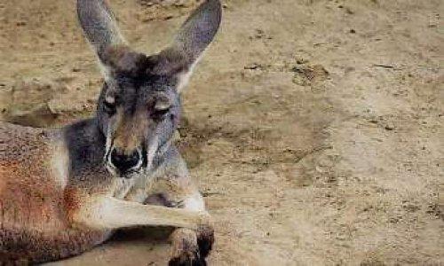 Justice pour la femelle kangourou morte, lapidée par des visiteurs  dans un zoo de Fuzhou