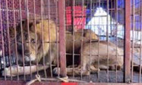 Stop aux cirques avec animaux et lâchers de gibiers à Saint-Laurent de la Cabrerisse