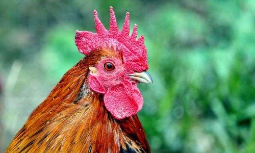 Pétition : Défense du coq des Loges en Josas