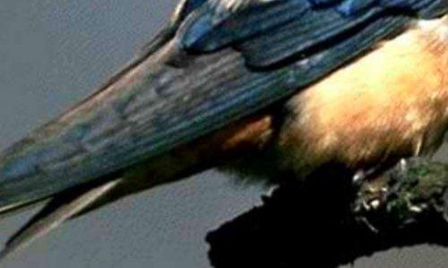 Pétition pour la défense des hirondelles, non à la destruction des nids d'hirondelles pour qu'elles puissent se reproduire