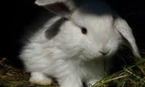 Pour que cesse la cruauté animale des lapins angora en ferme d'élevage qui sont maltraités dans des conditions insalubres et inhumaines