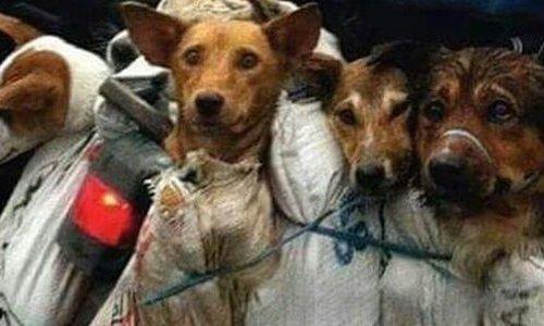 Pétition : Yulin : stop à ce festival de l'horreur