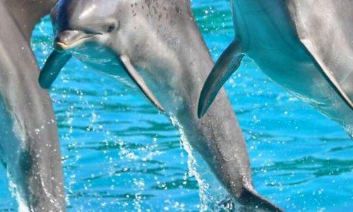 Pétition pour otorisez la reproduction dans ses delphinarium pour leur bien-être de nos animaux