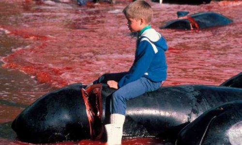 SOS Dauphin en danger au Danemark