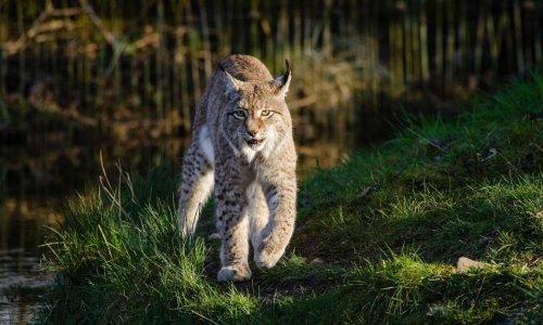 Stop au braconnage des lynx