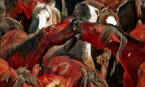 Pétition : La «Rapa das Bestas» : stop à la maltraitance des chevaux