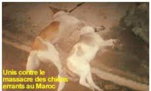 Luttons contre la cruauté au Maroc des chiens et chats, pour le respect des droits des animaux