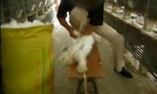 des lapins angora en ferme d'élevage en Chine et aidez moi pour cessez le matyre de ses pauvres lapins qui sont brutaliser pour leur fourrure d'angora
