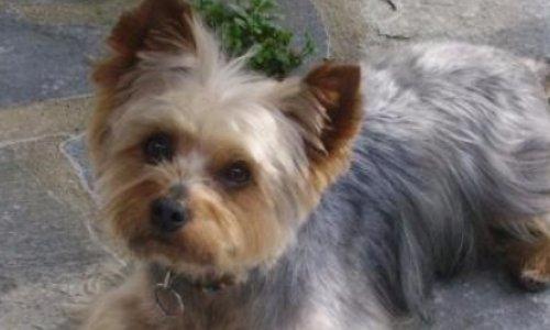 Justice pour Cacahuète, yorkshire de 9 ans tué à coups de marteau à Grasse .