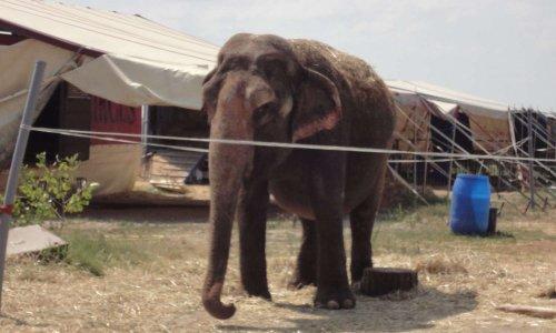 Animaux laissés en plein soleil au cirque Americano Vargas de Mamaia en Roumanie