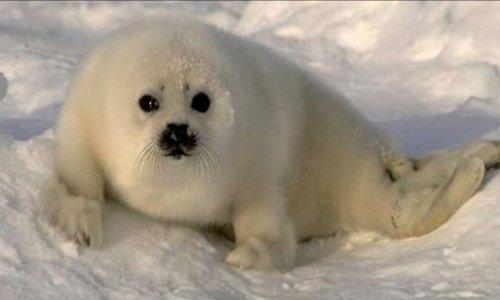 Interdire les massacres des phoques à fourrures