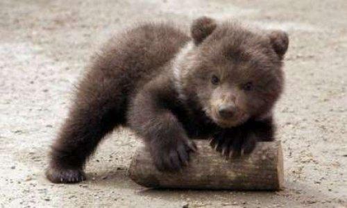 Pourquoi ont-ils relâché si tôt Mellous, l'ourson des Pyrénées?