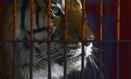 Pétition : Pour le retrait des animaux sauvages au festival du cirque de Massy