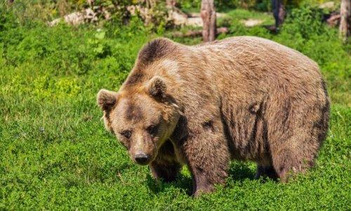 Sauvegarder la réimplantation et la sauvegarde des ours dans les Pyrénées françaises