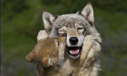 Pétition : Alerte : Loups en Danger