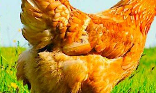 Non à l evages des poules en batterie