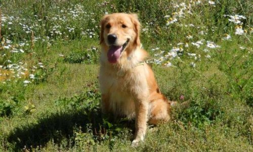 Petition Nous Souhaitons Adopter Olyna Chienne Golden Retriever