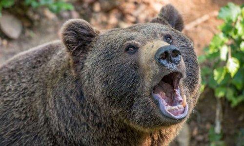 Désarmez les éleveurs qui traquent les ourses nouvellement introduites dans les Pyrénées