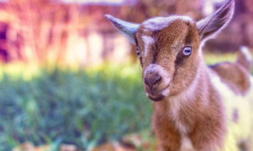 Pétition pour que la chèvre soit acceptée comme un animal de compagnie