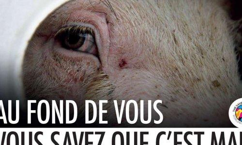 Stop aux longs transports d'animaux vivants