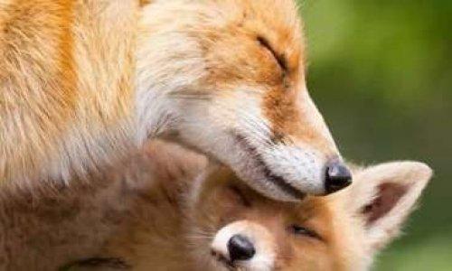 Contre les massacre des renards en Charente maritime