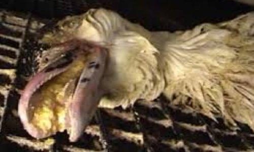 STOP A LA VENTE DE FOIE GRAS :   Le produit ne vaut pas les atrocités envers des êtres vivants et sensibles !