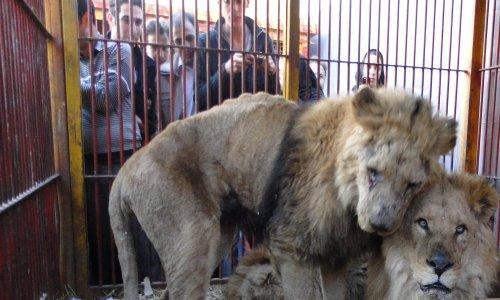 Lyon : pour des cirques sans animaux
