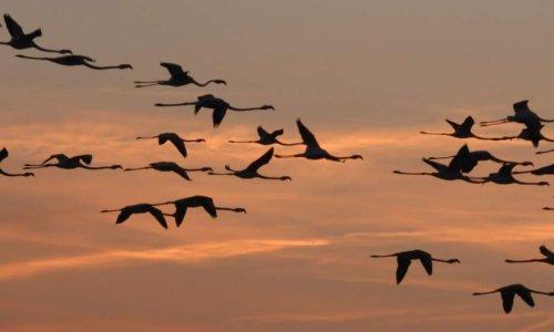 Contre la chasse aux oiseaux migrateurs