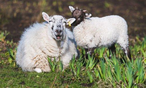 Libérons les chèvres des Tuileries