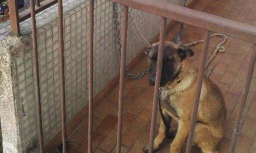 Chiot Malinois maltraité à Maisons-Alfort (94)