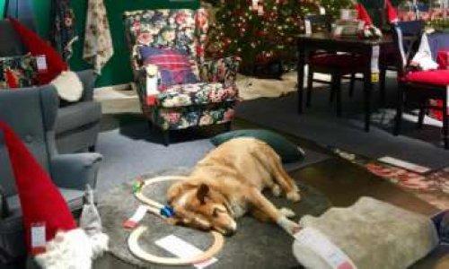 p tition pour qu 39 ikea saint martin d h res ouvre ses portes aux chiens errants pour l 39 hiver. Black Bedroom Furniture Sets. Home Design Ideas