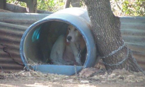 Pétition : Interdire l'attache des chiens et leur détention en chenil