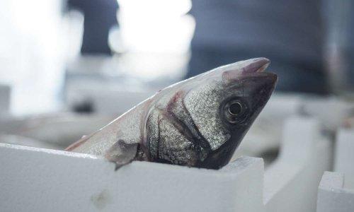 La France doit adopter des méthodes d'abattage respectueuses du bien-être des poissons