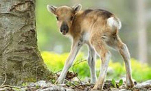 Stopper le cruel et inutile abattage de rennes des éleveurs samis par le gouvernement norvégien!