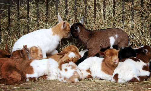 Sauvez les chevreaux des élevages !