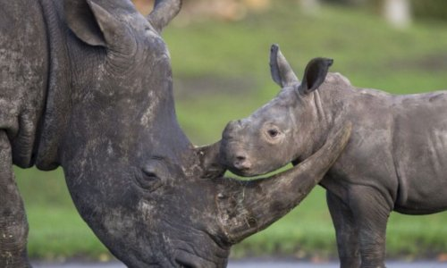 Sauvons  le rhinocéros noir !
