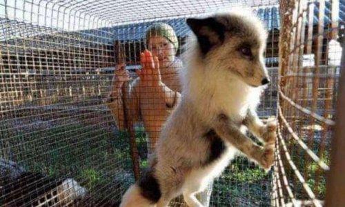 Sauver des animaux qui sont en grande souffrance à cause des fourrures !