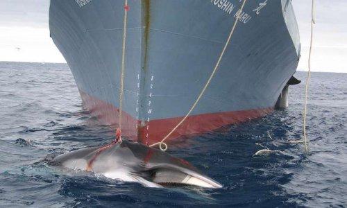 #StopChasseBaleine - Le Japon doit cesser la chasse à la baleine !