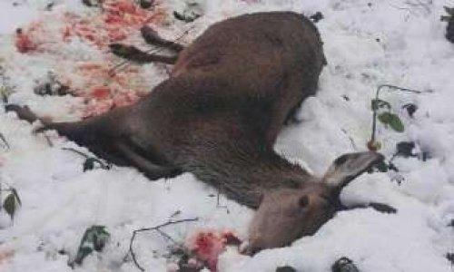 Pétition : Sanction exemplaire pour le(s) chasseur(s) ayant assassiné une biche devant l'école Jean Moulin de Saint-Gobain (Aisne)