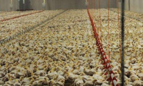 Non à l'élevage industriel de 33.000 poulets à Flangebouche