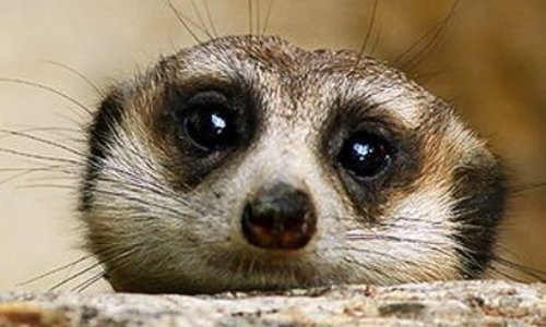 Sauvons les suricates d'Irak