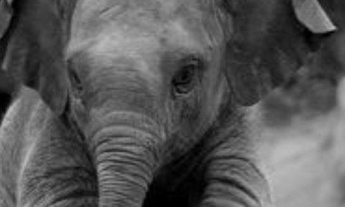 Légalisation de la chasse : pour que le gouvernement du Botswana arrête cette autorisation