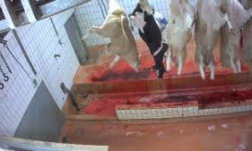 Contre l'abattage conscient des animaux de ferme